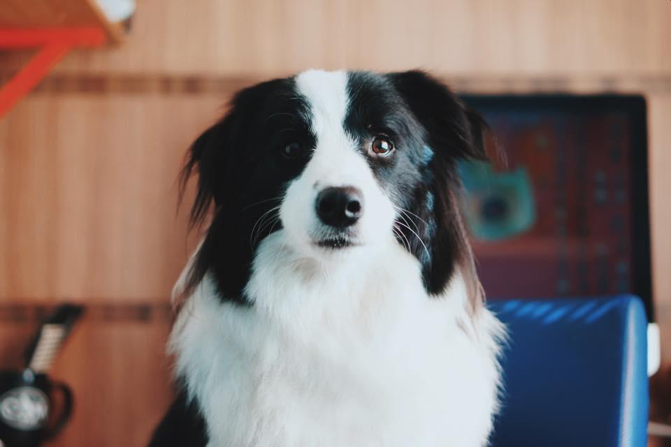 ansiedade de separação dos cachorros