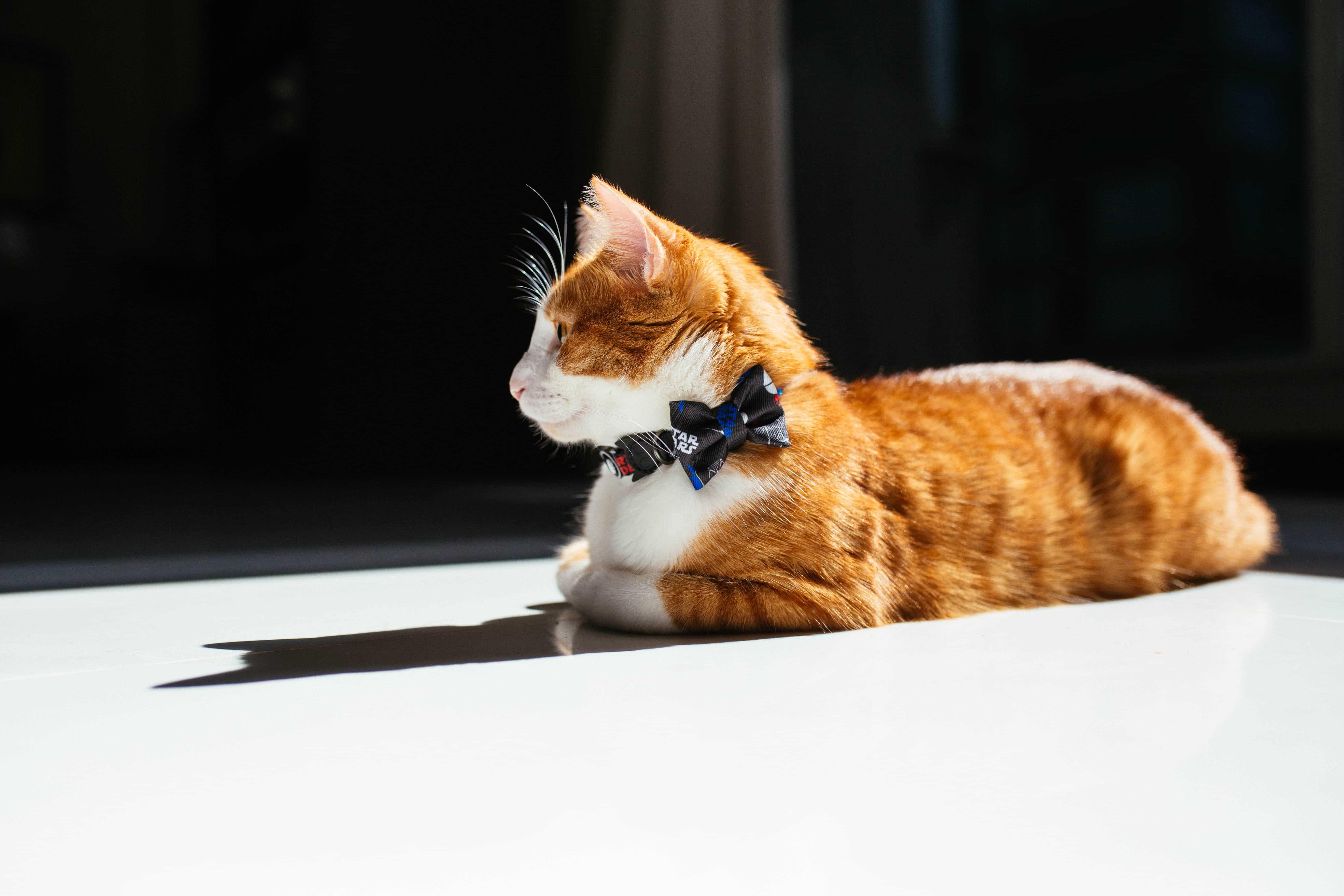 dicas de como fazer seu gato dormir a noite