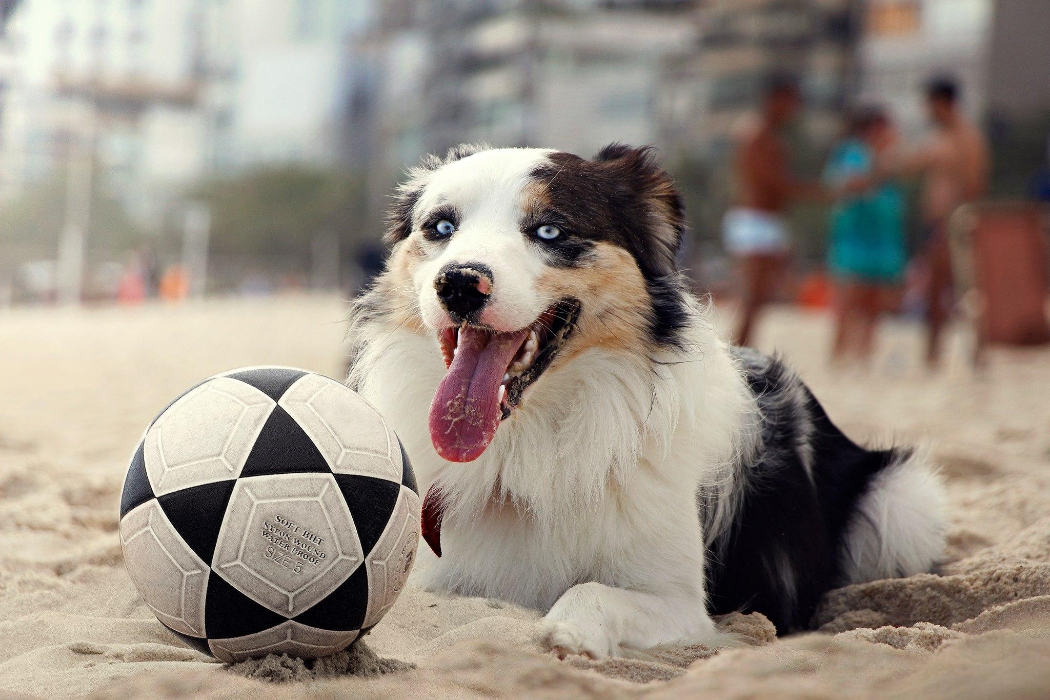 Futebol Com Cachorro Scotch Jogando Altinha